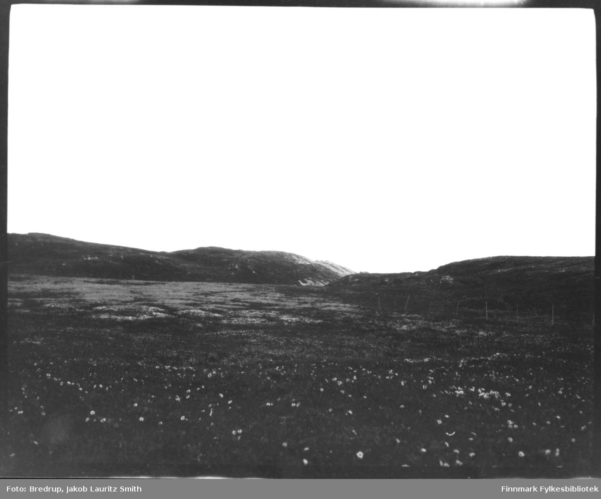 Skrint landskap med balderbrå, antakelig i Varanger.