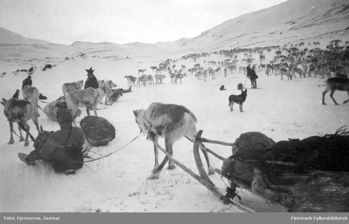 En stor reinflokk ses bak på bildet. Foran ses noen reindriftssamer, hunder og kjørerein med slede. Stedet er ukjent, men bildet ble tatt i april/mai 1948.