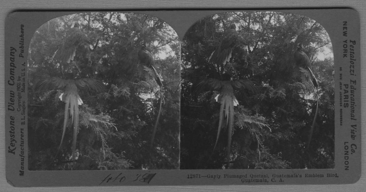 '3 quetzalfåglar, Guatemalas nationalfågel. ::  :: ''12871 - Gayly plumaged Quetzal, Guatemalas emblem bird, Guatemala, C.A.'' ::  :: Ingår i serie med fotonr. 315-422.'