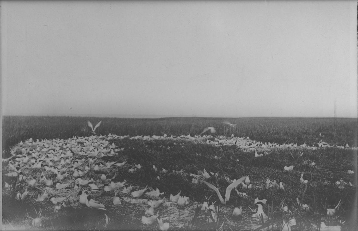 'Stor monterad utställningsbild, med textremsa:''Häckande Kentska tärnor och skrattmåsar. 06-992'''
