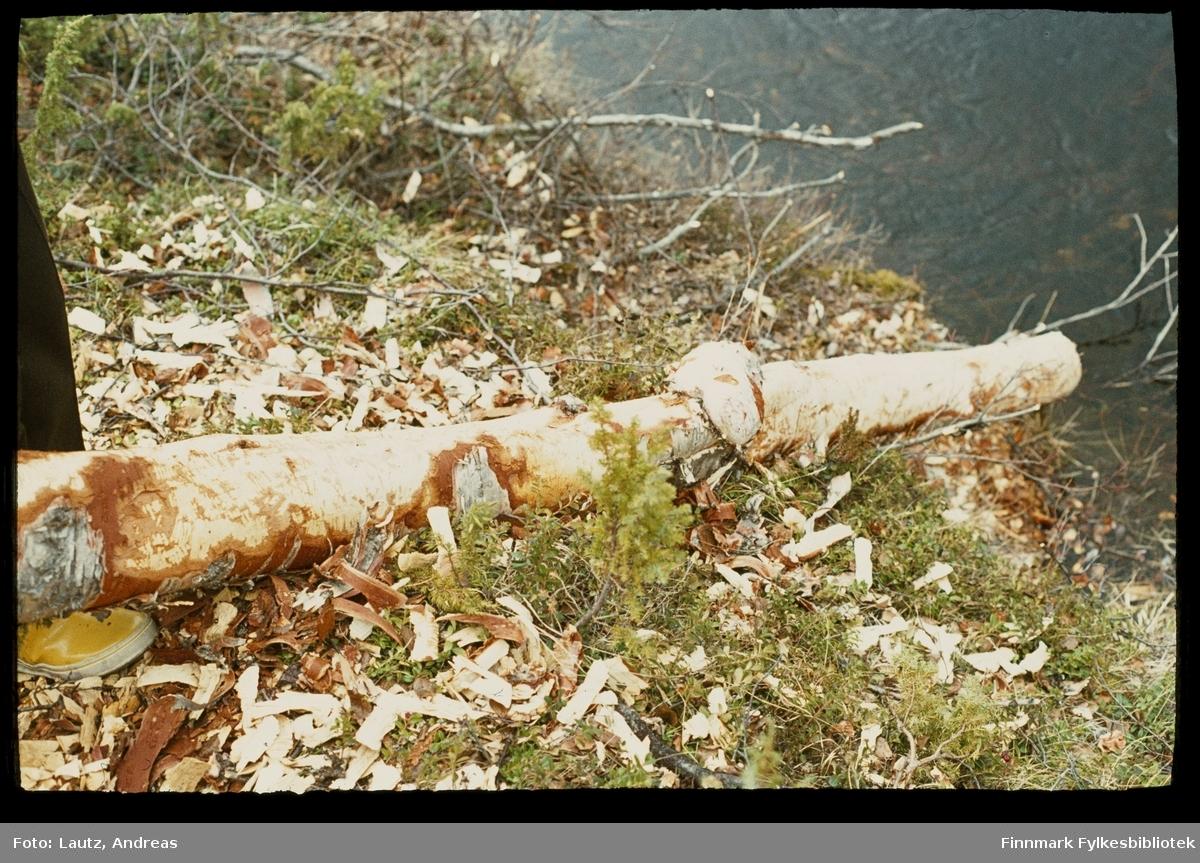 Karasjok i 1972.  Ássebákti/Gieibmejohka. Bevergnagde trær.