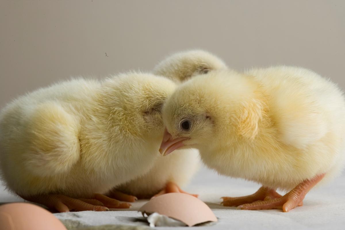Tre kyllinger - en time gamle