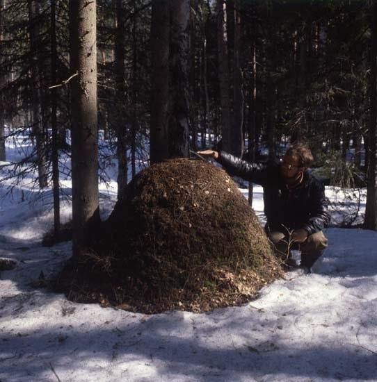En man sitter på huk bredvid en stor myrstack vid några trädstammar i skogen, maj 1979.