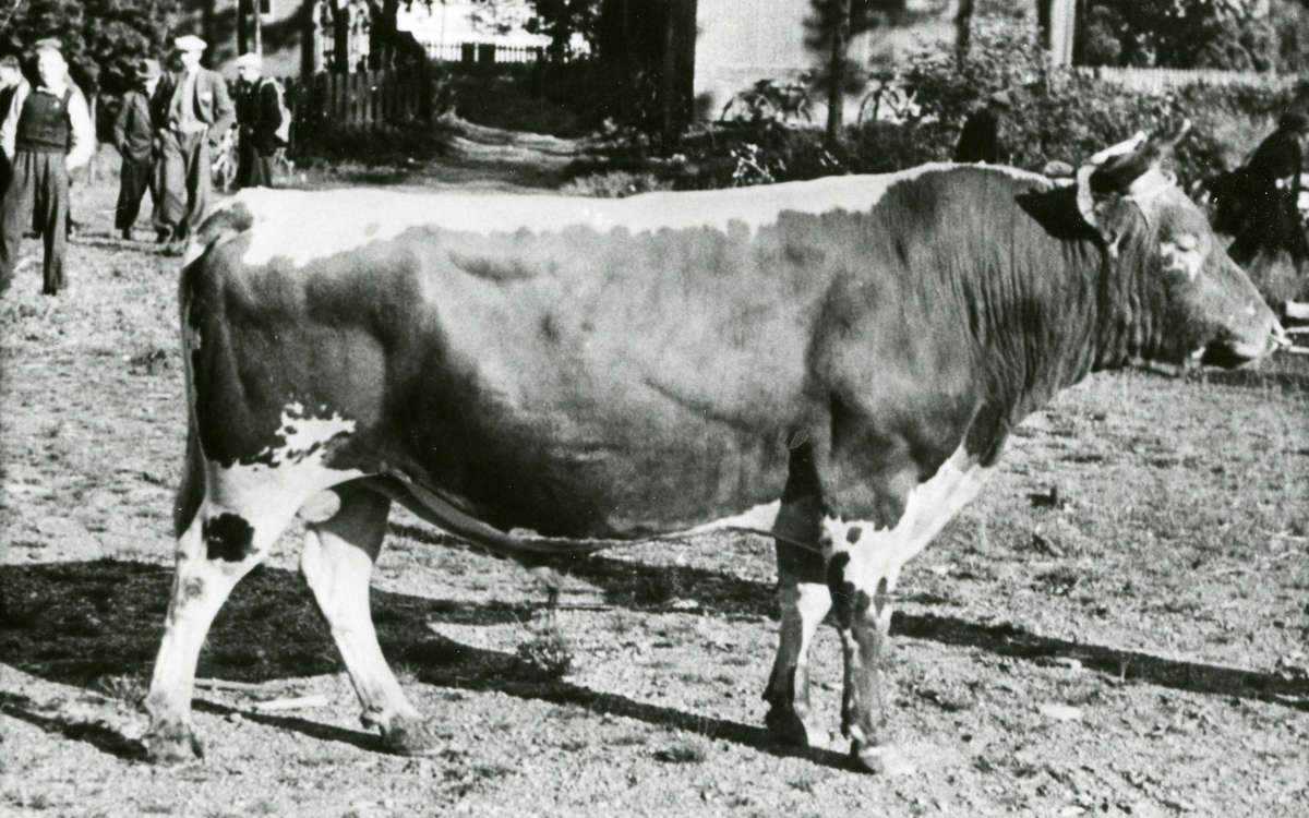 """Aksjeoksen """"Dyrild"""" på utstilling, Fagernes 1943."""