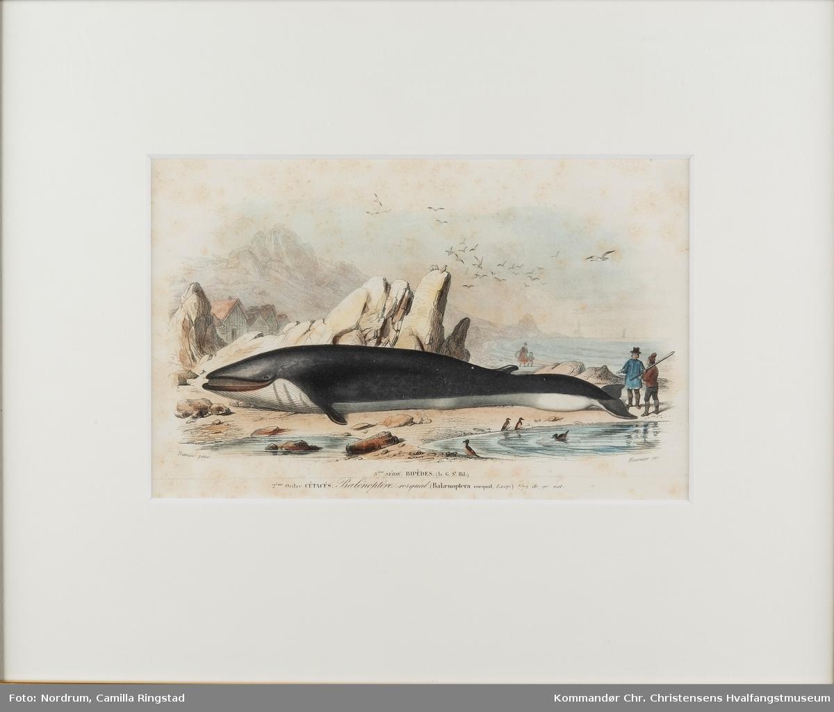 Finnhval, strandet
