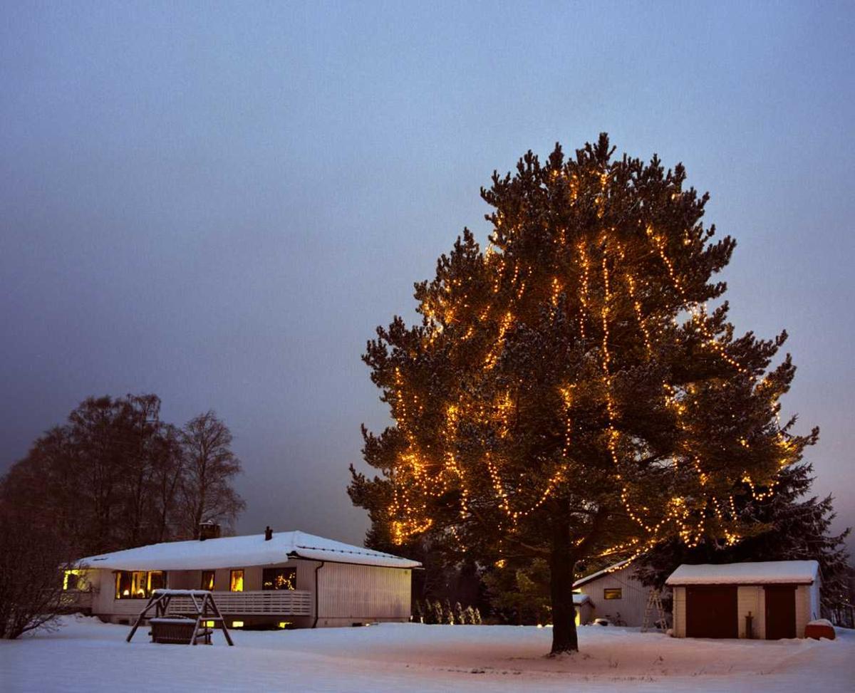 Julebelysning  Hvit julebelysning på diger furu ved enebolig