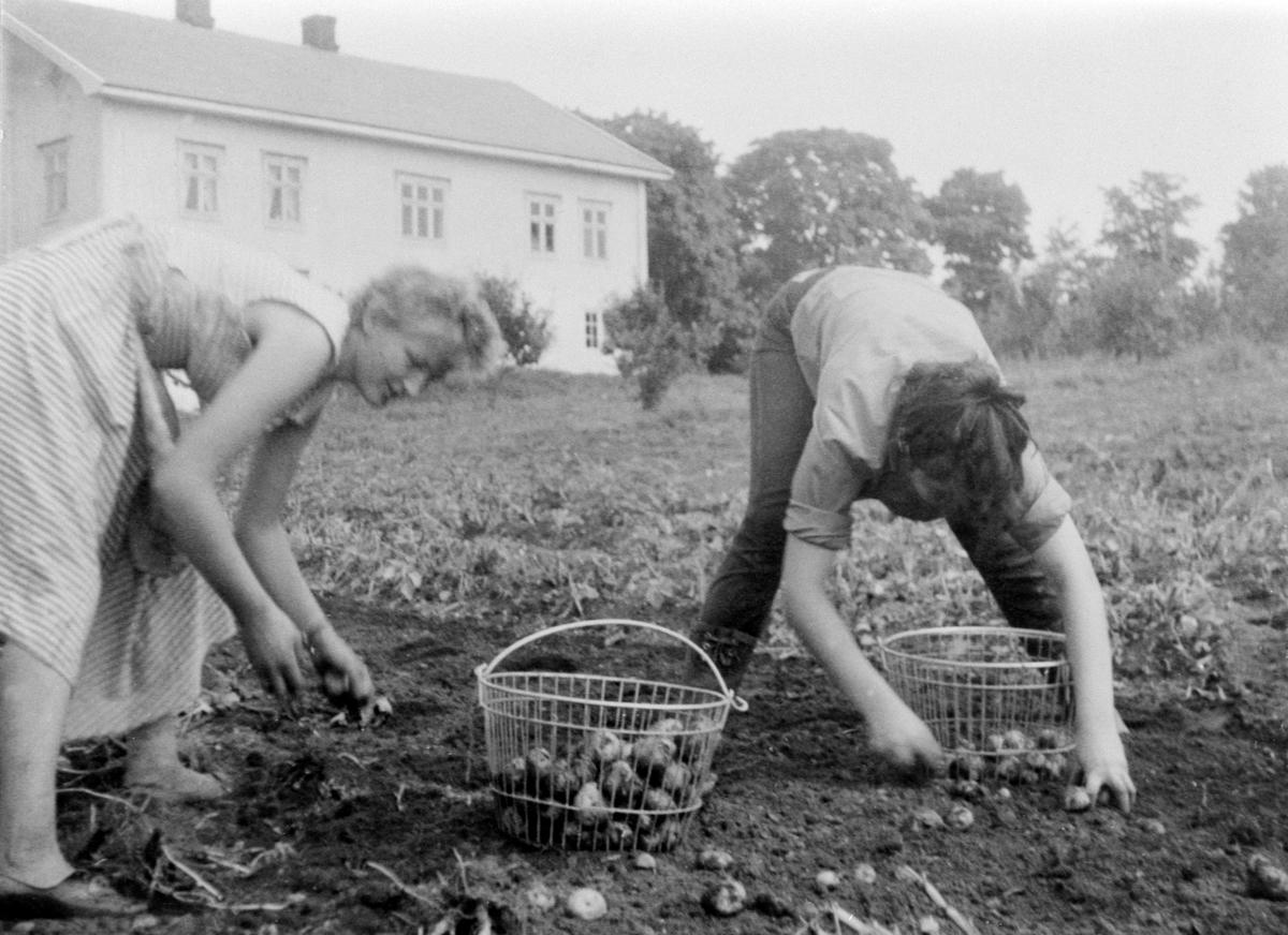 Potetplukkere på Heggenhaugen, Ringsaker. Hjørdis Kusch og frk. Spidsberg.