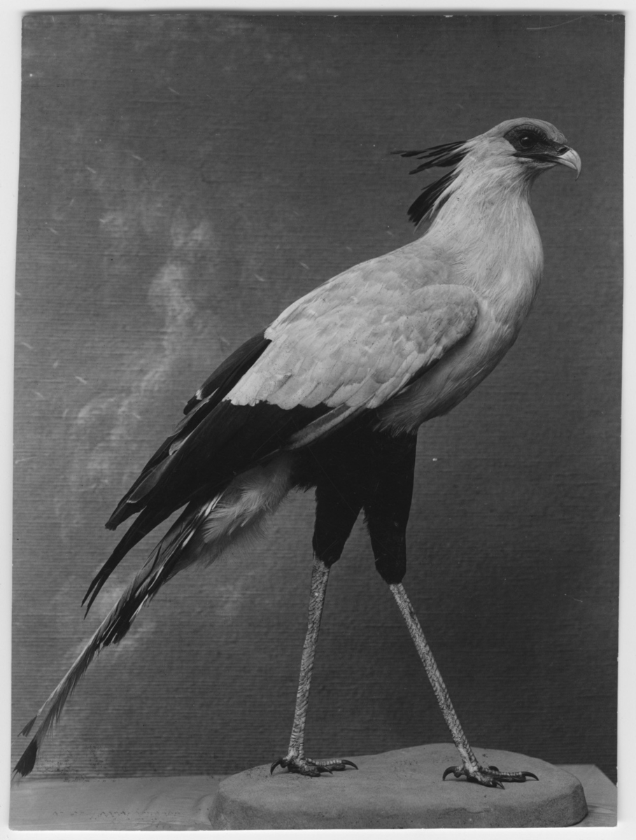 'Monterad Sagittarius serpentarius hane adult, (sekreterarfågel). :: Fynddatum: 1912-05-24.'