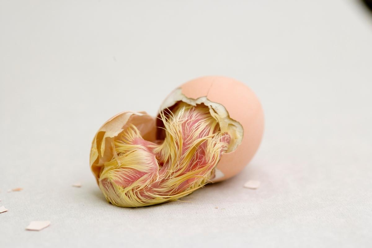 Klekking av hønseegg. Kyllingen kjemper seg ut av skallet