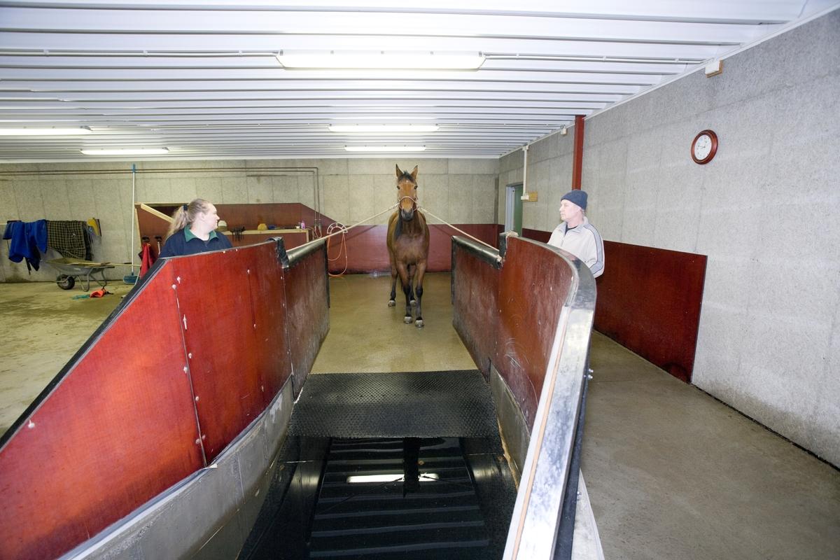 Svømme- og rehabiliteringssenter for heste. En hest venter før svømmeturen i svømmebassenget.