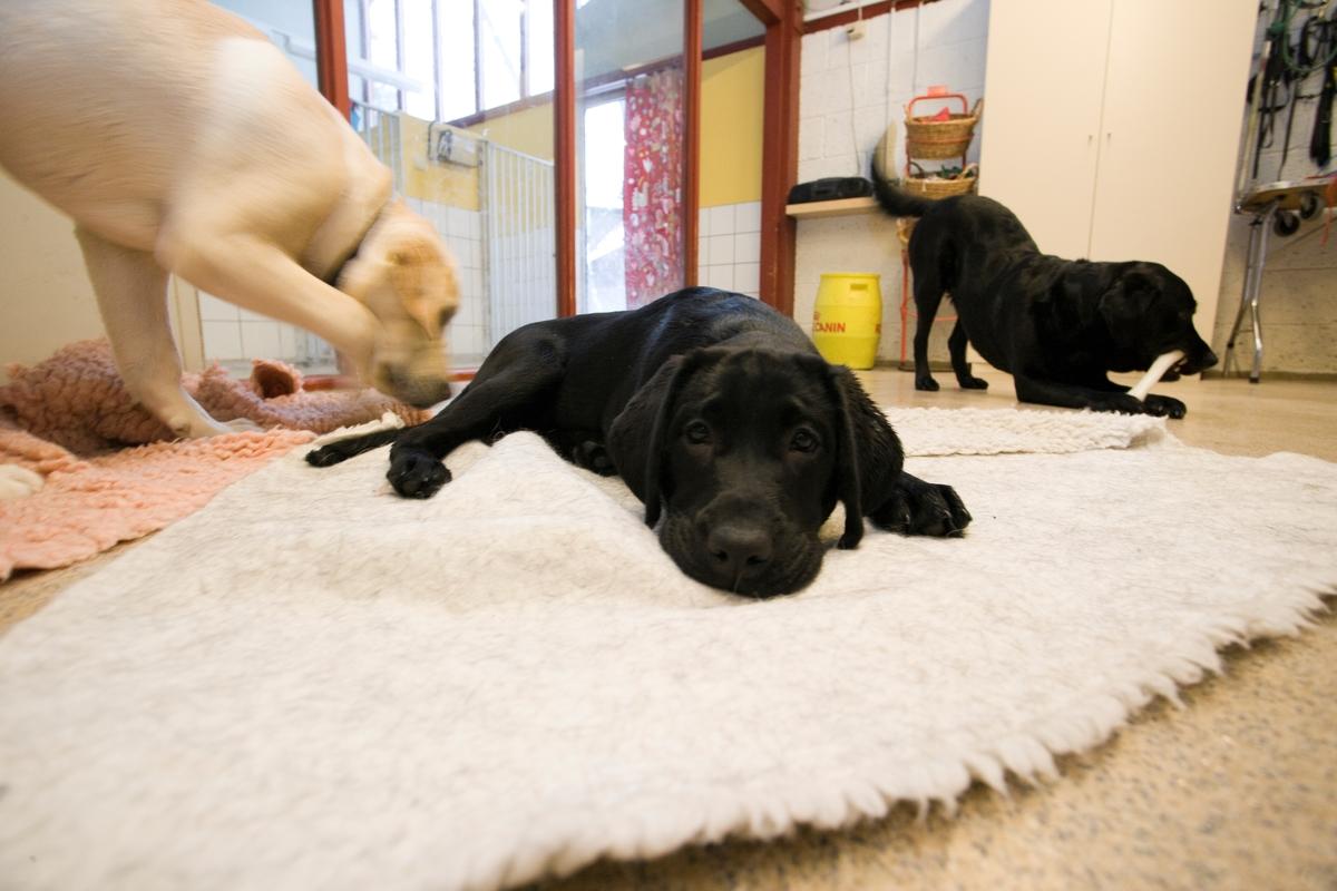 Førerhundskole. En hund hviler seg og to andre hunder beveger seg rundt.