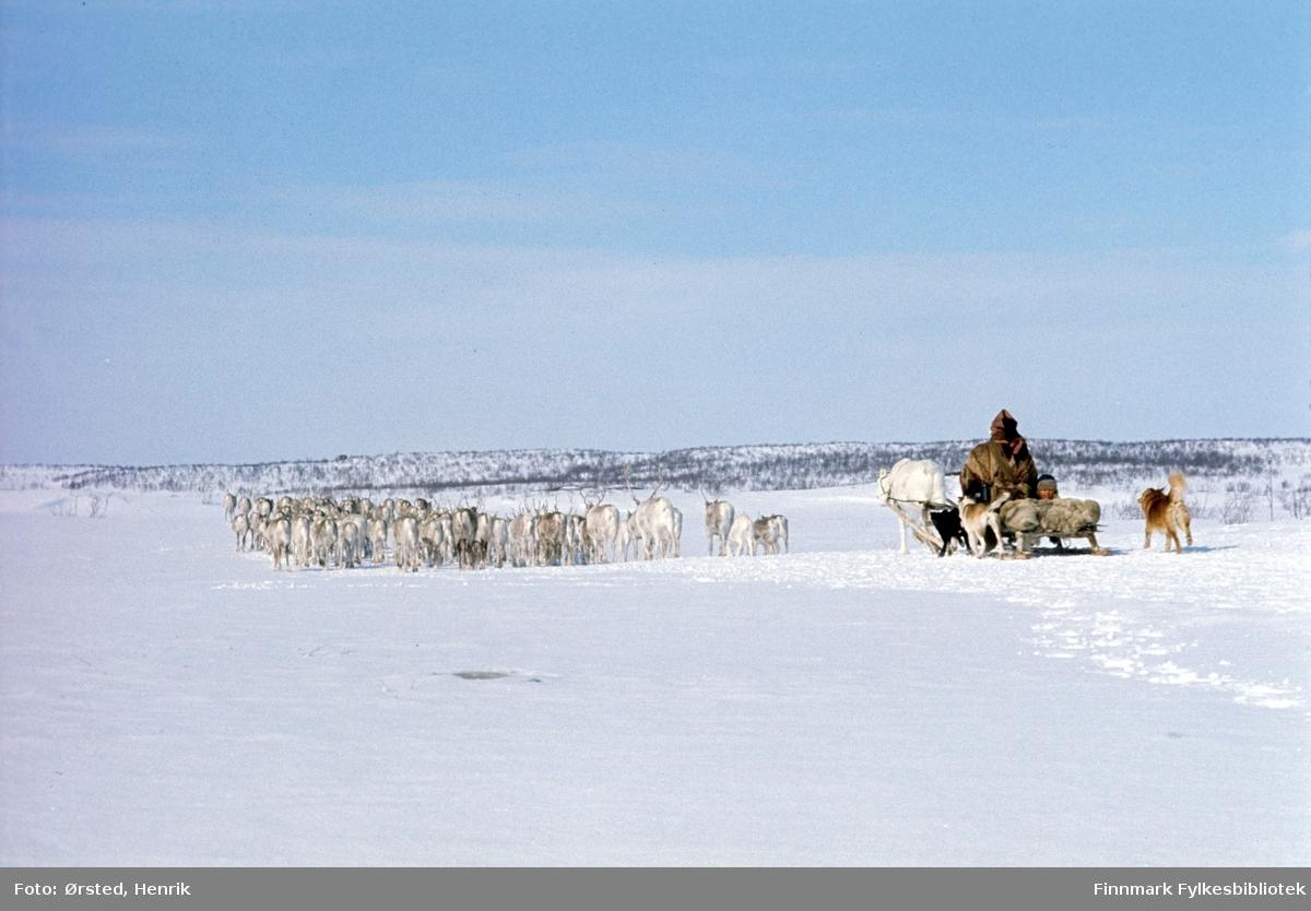 """Postfører Mathis Mathisen Buljo, bedre kjent som """"Post-Mathis"""" i samiske kretser, har kommet frem med post til reindriftssamer som er i arbeid ute på Finnmarksvidda. På bilde ser vi en reindriftssame med kjørerein og slede som følger flokken på vandring.  Fotograf Henrik Ørsteds bilder er tatt langs den 30 mil lange postruta som strakk seg fra Mieronjavre poståpneri til Náhpolsáiva, videre til Bavtajohka, innover til øvre Anárjohka nasjonalpark som grenser til Finland – og ruta dekket nærmere 30 reindriftsenheter. Ørsted fulgte «Post-Mathis», Mathis Mathisen Buljo som dekket et imponerende område med omtrent 30.000 dyr og reingjetere som stadig var ute i terrenget og i forflytning. Dette var landets lengste postrute og postlevering under krevende vær- og føreforhold var beregnet til 2 dager. Bildene gir et unikt innblikk i samisk reindriftskultur på 1970-tallet. Fotograf Henrik Ørsted har donert ca. 1800 negativer og lysbilder til Finnmark Fylkesbibliotek i 2010."""