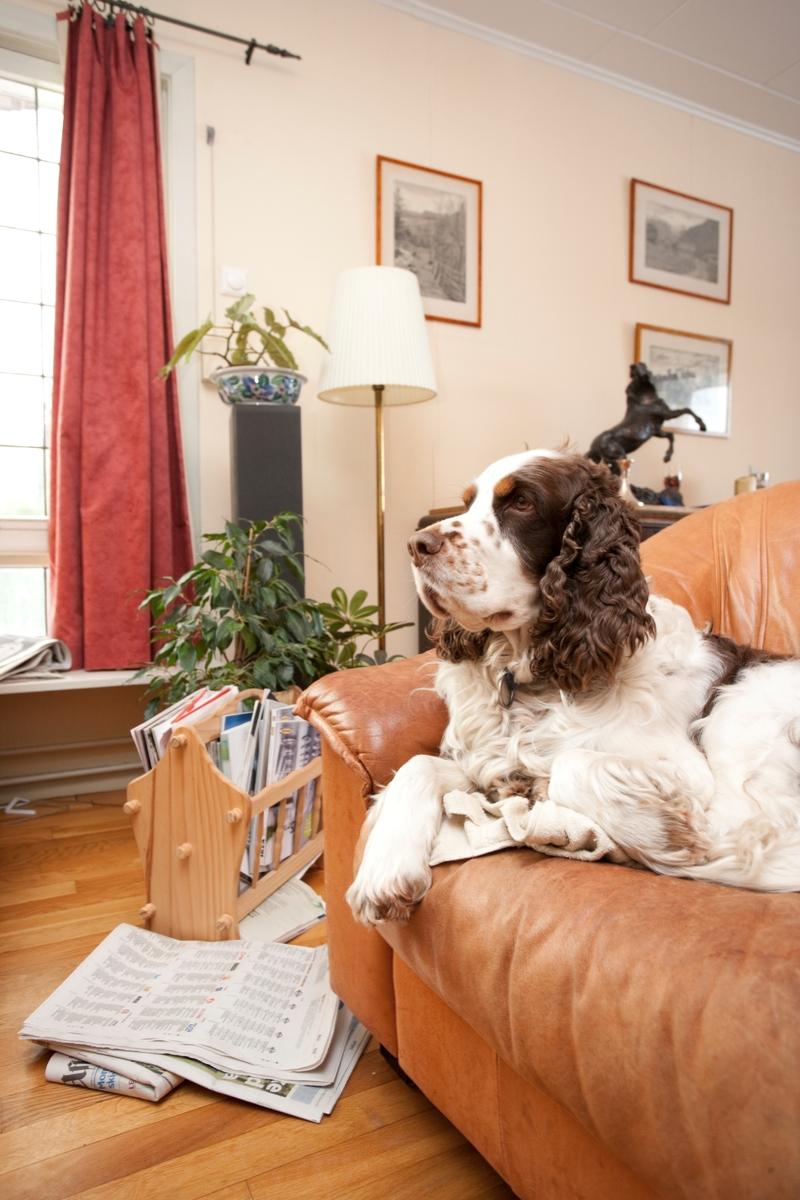Hunden Balder koser seg i sin stol i hjemmet.