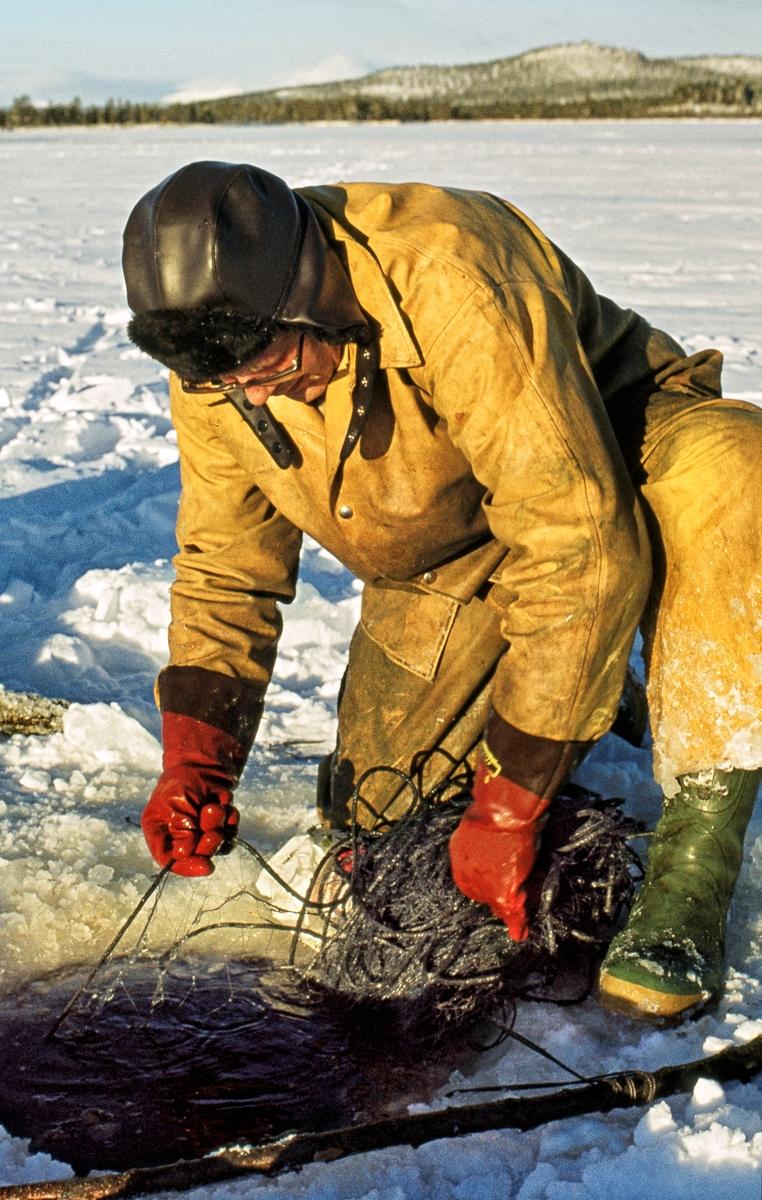 Herman Ingebrigtsen (1920-2010) fra Elvål i Øvre Rendal, fotografert mens han trakk et garn på fra et hull i isen på innsjøen Isteren i Engerdal.  Han hadde trukket gult regntøy over vinterklærne, og hadde ørelapplue på hodet og røde gummihansker på hendene.  Dette bildet ble tatt i midten av november 1972, og Ingebrigtsen kameraten Magne Bjørnstad (1926-1987) var blant de siste som praktiserte det såkalte «veslefisket».  Dette var et gytefiske etter sik, som foregikk på grunt vann utenfor Elvålsvollen, på vestsida av sjøen, fra 25. oktober og en måneds tid utover høsten.  Da fisket startet kunne det fortsatt være åpent vann og mulig å sette garn fra båt, men i løpet av gyteperioden la det seg alltid is.  Da måtte fiskerne vente litt, på at isen skulle få nødvendig bæreevne.  Ettersom det gjaldt å fiske mest mulig mens gytinga fortsatt pågikk, hendte det nok at karene stiltret seg ut på vel tynn is.  Ettersom det var grunt på gyteplassen ble det brukt garn som bare var cirka en meter brede.  Større garn ville lett har frosset fast i isen.  Garna ble satt gjennom hull i isskorpa.  Deretter ble de trukket jevnlig, og fangsten ble tatt ut, før garnet ble satt tilbake under isen.  Fisken frøs på stedet, men noe ble også saltet med sikte på mer langsiktig lagring.  I likhet med det mer langvarige vår- og sommerfisket i Isteren var «veslefisket» regulert gjennom et lottsystem.  Herman Ingebrigtsen på dette fotografiet, for eksempel, hadde bare en tolvdels lott, noe som innebar at han egentlig bare hadde anledning til å delta i fisket hvert tolvte år.  Han leide imidlertid rettigheter av andre, som i begynnelsen av 1970-åra ikke lenger brydde seg om å praktisere rettighetene sine.
