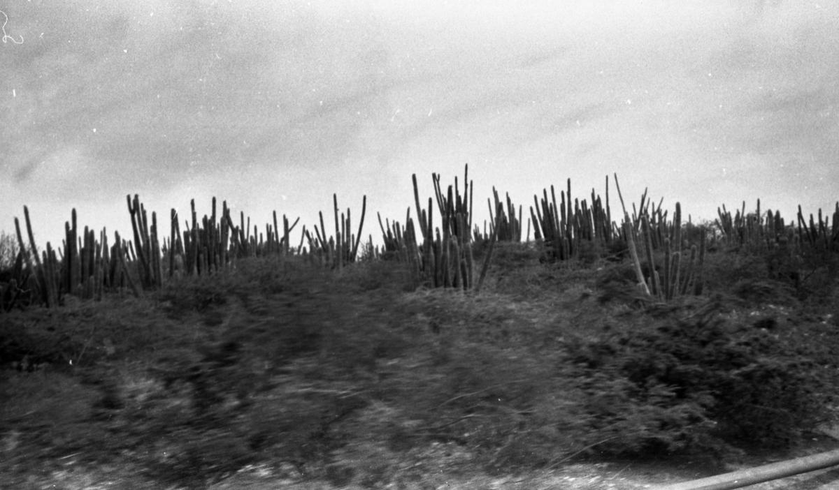 Kaktusskog i silhuett. Suderøy på vei til fangstfeltet.
