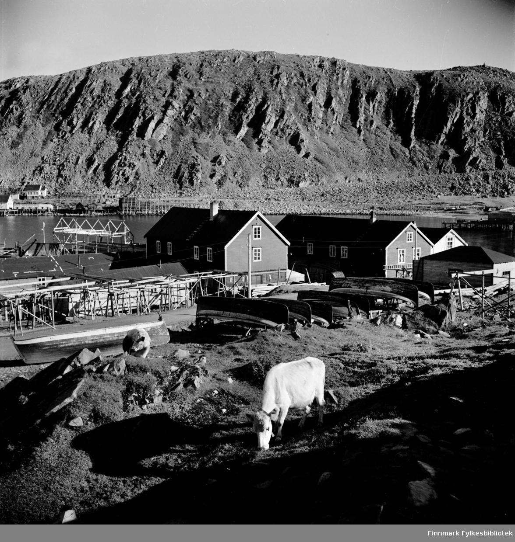 Kjøllefjord sentrum fotografert i 1940. I forgrunnen går kyr og beiter i sola. Åpne fiskebåter ligger hvelvet på rekke og rad langs veien ovenfor fiskehjeller og sjøhus. I bakgrunnen ses fiskebruk og bebyggelse på andre siden av bukta. Til høyre går den gamle veien skrått oppover fjellsiden.