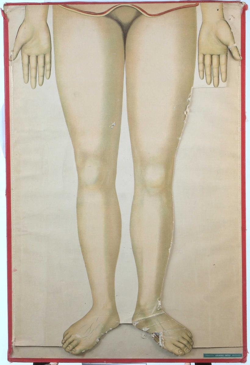Plansje over kvinne fra føtter til underliv. Flere ark utenpå hverandre, viser hu, blodårer og muskler, skjelett.